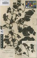 Original material of Escallonia myrtilloides L. f. [family GROSSULARIACEAE]