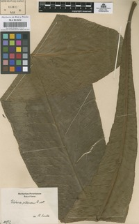 Original material of Gustavia pubescens Ruiz & Pav. ex O. Berg not on sheet not on sheet [family LECYTHIDACEAE]