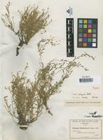 Isotype of Polygala arizonae Chod. [family POLYGALACEAE]
