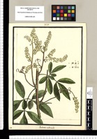 Paullinia rubicaulis / Brunete. Original drawing from Ruiz & Pavón's Expedition (1777-1816)