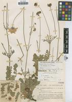 Lectotype of Scabiosa tomentosa Cav. var. maroccana Pau & Font Quer [family DIPSACACEAE]