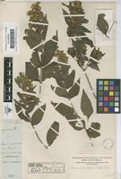 Original material of Calea urticifolia (Mill.) DC. [family COMPOSITAE]