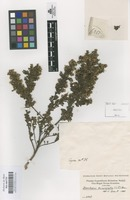 Original material of Baccharis tricuneata (L.f.) Pers. [family COMPOSITAE]