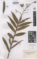 Original material of Epidendrum [family ORCHIDACEAE]