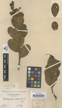 Original material of Macrocarpaea ovalis (Ruiz & Pav.) Ewan not on sheet not on sheet [family GENTIANACEAE]