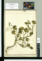 Heteranthera reniformis / J[ose]ph Brunete. Original drawing from Ruiz & Pavón's Expedition (1777-1816)