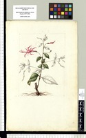 [Lopezia semeiandra Plitmann, Raven & Breedlove (Onagraceae)]. Original drawing from Sessé & Mociño's Expedition (1787-1803)