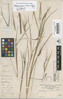 Filed as Heteropogon contortus (L.) P.Beauv. ex Roem. & Schult. [family GRAMINEAE]