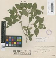 Filed as Malpighia glabra L. [family MALPIGHIACEAE]