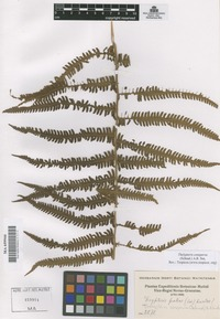 Original material of Thelypteris conspersa (Schrad.) A.R. Sm. [family THELYPTERIDACEAE]