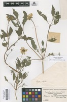 Original material of Heliopsis oppositifolia (Lam.) S. Díaz [family COMPOSITAE]
