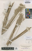 Original material of Bothriochloa saccharoides (Sw.) Rydb. [family GRAMINEAE]