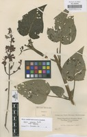 Original material of Salvia rubescens Kunth subsp. rubescens [family LABIATAE]