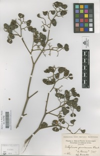Original material of Dictyoloma peruvianum Planch. [family RUTACEAE]
