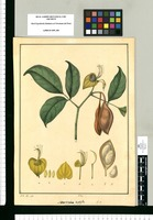 Swartzia triphylla / J[osé] G[abriel] R[ivera] del. Original drawing from Ruiz & Pavón's Expedition (1777-1816)