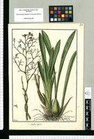Maxillaria ligulata / Galvez. Original drawing from Ruiz & Pavón's Expedition (1777-1816)