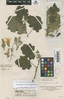 Filed as Eucnide hirta (G.Don) H.J.Thomps. & W.R.Ernst [family LOASACEAE]