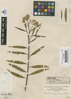 Original material of Baccharis glutinosa Pers. [family COMPOSITAE]