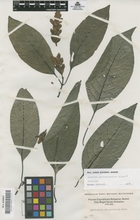 Paratype of Justicia phytolaccoides Leonard [family ACANTHACEAE]