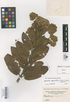 Original material of Ageratina angustifolia (Kunth) R.M. King & H. Rob. [family COMPOSITAE]