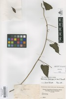 Original material of Operculina pteripes (G. Don) O'Donell [family CONVOLVULACEAE]