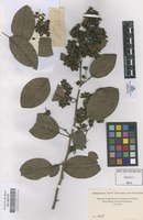 Original material of Not on sheet [family DILLENIACEAE]