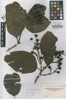 Original material of Not on sheet [family LAURACEAE]