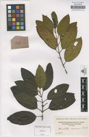 Original material of Henriettella seemannii Naudin [family MELASTOMATACEAE]