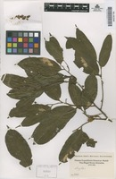 Original material of Lecythis [family LECYTHIDACEAE]