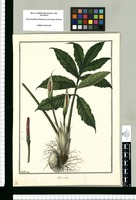 Calla rubra / Galvez. Original drawing from Ruiz & Pavón's Expedition (1777-1816)