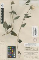 Original material of Tithonia tubaeformis (Jacq.) Cass. [family COMPOSITAE]