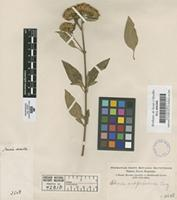 Original material of Stevia subpubescens Lag. [family COMPOSITAE]