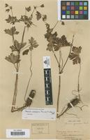 Isotype of Geranium yunnanense Franch [family GERANIACEAE]