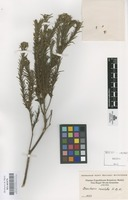 Original material of Baccharis revoluta Kunth [family COMPOSITAE]
