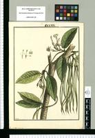 Echites acuminata [sic] / Brunete. Original drawing from Ruiz & Pavón's Expedition (1777-1816)