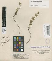 Isotype of Hedeoma piperita Benth. [family LABIATAE]