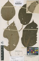 Original material of Alloplectus [family GESNERIACEAE]
