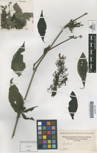 Original material of Justicia [family ACANTHACEAE]