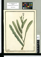 Tragopogon? glabrum F. p.; Sonchus; S. p. aequal. / Ysidro Galvez. Original drawing from Ruiz & Pavón's Expedition (1777-1816)