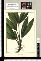 Carludovica latifolia / Galvez. Original drawing from Ruiz & Pavón's Expedition (1777-1816)