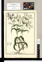 Gentiana umbellata / Galvez. Original drawing from Ruiz & Pavón's Expedition (1777-1816)