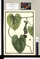 Coccoloba? / Brunete. Original drawing from Ruiz & Pavón's Expedition (1777-1816)