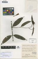 Isotype of Allomarkgrafia foreroi A. Gentry [family APOCYNACEAE]