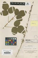 Filed as Desmodium pringlei S. Watson [family LEGUMINOSAE-PAPILIONOIDEAE]