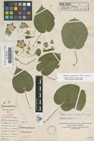 Filed as Polystemma guatemalense (Schltr.) W.D. Stevens [family ASCLEPIADACEAE]