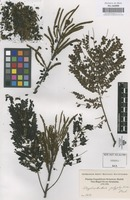 Original material of Stryphnodendron polyphyllum Mart. [family LEGUMINOSAE-MIMOSOIDEAE]