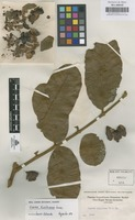 Original material of Guarea kunthiana A. Juss. [family MELIACEAE]