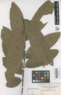 Original material of Guarea trichilioides L. [family MELIACEAE]