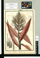 Bromelia incarnata / Galvez. Original drawing from Ruiz & Pavón's Expedition (1777-1816)