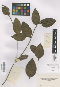 Original material of Not on Sheet [family AQUIFOLIACEAE]